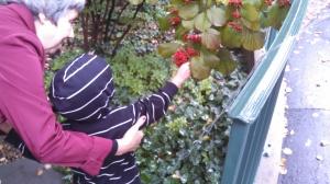 picking berries in the garden